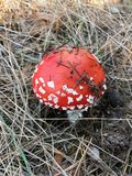 Fly agaric. Nature in a forest.Fly agaric is a very dangerous for people health royalty free stock photos