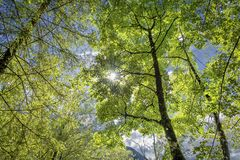 Nature forest and the sun. Nature forest, trees growing upward to the sun. Background Stock Photography