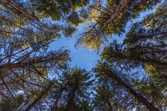 Nature forest trees. Nature forest, shadowed trees growing upward to the sky stock photos