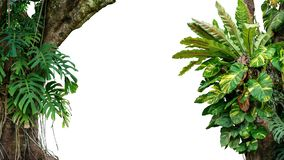 Nature frame of jungle trees with tropical rainforest foliage plants climbing Monstera, bird's nest fern, golden pothos and