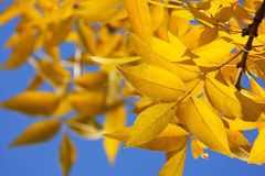 Nature framework. Yellow autumnal leaves and blue sky Stock Photography