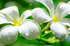 Frangipani flowers covered by water drops Stock Photo