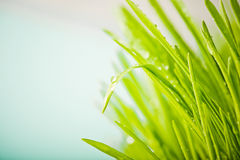 Nature fresh green grass with dews drop Stock Image