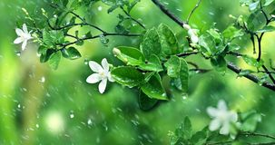 Nature fresh green leaf branch under havy rain in rainy season. Fresh green leaf and white flower  branch under havy rain in rainy season Royalty Free Stock Photography