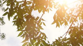 Nature with fresh tree leaves and shining sun vintage color grading. Green leaves and sun in spring stock video