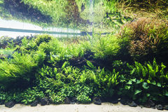 Nature freshwater aquarium in Takasi Amano style. Very high resolution, 42.2 megapixels. Nature freshwater aquarium in Takasi Amano style of Lisbon, Portugal royalty free stock photography