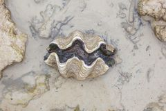 Nature Giant clam Stock Images
