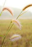 Nature grass flower and dew Stock Images