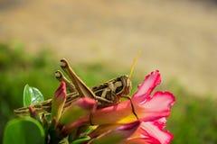 grasshopper on pink flower royalty free stock photo