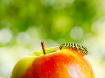Green caterpillar on red apple Stock Photos