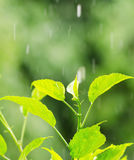 Green foliage under rain drops Royalty Free Stock Image