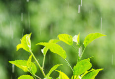 Green foliage under rain drops Royalty Free Stock Photos