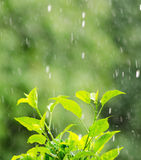 Green foliage under a rain drops Royalty Free Stock Images