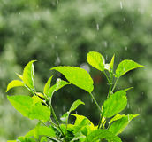 Green foliage under a rain drops Royalty Free Stock Image