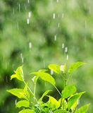 Green foliage under a rain drops Stock Images