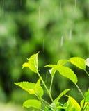 Green foliage under a rain drops Stock Images