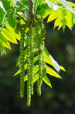 Nature. Green inflorescences on a tree branch Royalty Free Stock Photos