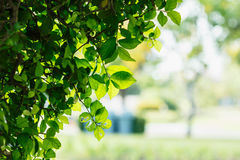 Nature  green of  leaf Royalty Free Stock Photo
