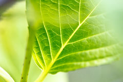 Nature green leaves. A macro shot of green leaves from an hydrangea plant Royalty Free Stock Images