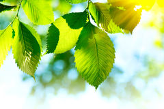 Nature green leaves background Royalty Free Stock Photography