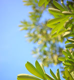 Nature green leaves on blue background. Nature green leaves on blue sky background Royalty Free Stock Photos