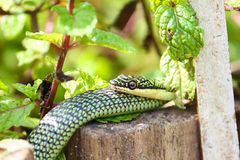 Nature green snake on peppermint plant in asia Royalty Free Stock Photography