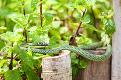 Nature green snake on peppermint plant in asia Royalty Free Stock Photos