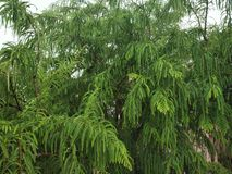 GOOSEBERRY TREE. NATURE, GREEN TREE, BEAUTYFUL GOOSEBERRY Phyllanthus emblica, also known as emblic, emblic myrobalan, myrobalan, Indian gooseberry,Malacca tree royalty free stock photos