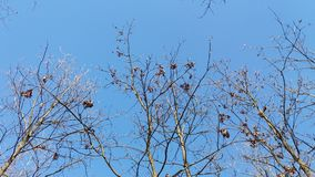 Nature in heaven. Branches with dry leaves against a wonderfully blue sky. Nature in heaven. Tree, branches with dry leaves against the background of a stock photography