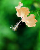 Hibiscus flower on green background Royalty Free Stock Photo