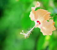 Hibiscus flower on a green background Royalty Free Stock Images
