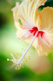 Hibiscus flower on a green background Royalty Free Stock Photos