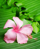 Hibiscus flower on the green leaf Royalty Free Stock Photo
