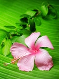 Hibiscus flower on the green leaf Stock Photo