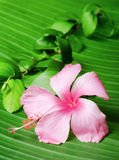 Hibiscus flower on the green leaf Royalty Free Stock Photos