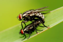 Nature housefly. Two small housefly mating in the gardens royalty free stock photos
