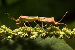 Nature image showing details of insect life: closeup / macro of. A hemiptera Nezara Viridula Heteroptera pentatomidae palomera prasina on a leaf royalty free stock images