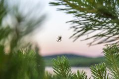 Nature, insect arthropod. The spider sits on a woven web on pine branches in the early morning.  royalty free stock photos