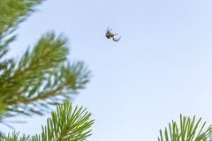Nature, insect arthropod. Spider sits on a woven web on pine branches.  royalty free stock photography