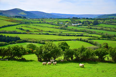 Nature of Irland. Beautiful Irish landscape on sunny suummer day. A flock of sheeps on grassland Stock Photos