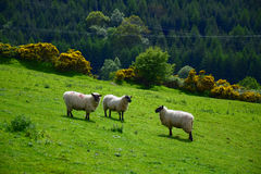 Nature of Irland. Sunny suummer day. A flock of sheeps on grassland under the forest. Sunny suummer day Royalty Free Stock Images