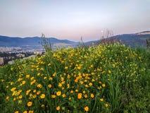 Nature of Israel Haifa Karmiel. Wildflower field, Heights near valley, sunny sunrise and nobody. Orange marigold flowers.  stock images