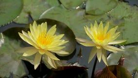 nature jaune de fleur banque de vidéos