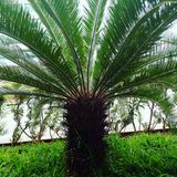 Nature. Kind of dates tree place DLF IT park Chennai Stock Photos