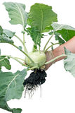 Nature Kohlrabi Royalty Free Stock Photo