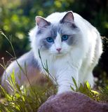 Nature l'explorant de chat de Ragdoll, image cultivée photographie stock libre de droits
