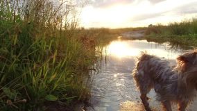 Nature lake river and grass sunset sunlight. The dog washes in the water steadicam shot motion video stock video