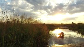 Nature lake river and grass at sunset sunlight. The dog washes in the water steadicam shot motion video royalty free stock image