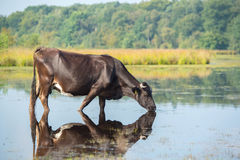 Nature landscape with cow in water Royalty Free Stock Photo