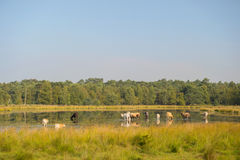 Nature landscape with cows in water Stock Image